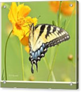 Tiger Swallowtail Butterfly On Cosmos Flower Acrylic Print