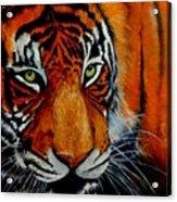 Tiger, Tiger Burning Bright... Acrylic Print