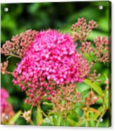 Tiny Pink Spirea Flowers Acrylic Print