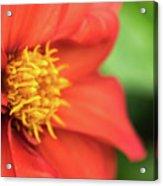 Tithonia Rotundifolia, Red Flower Acrylic Print