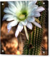 Torch Cactus - Echinopsis Candicans Acrylic Print