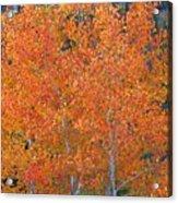 Translucent Aspen Orange Acrylic Print