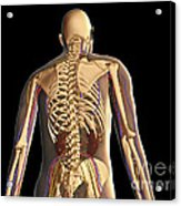 Transparent View Of Human Body Showing Acrylic Print
