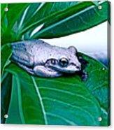 Tree Frog On Desert Rose  Acrylic Print