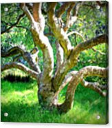 Tree In Golden Gate Park Acrylic Print