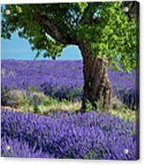 Tree In Lavender Acrylic Print