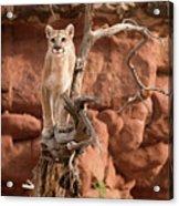 Treed Mountain Lion Acrylic Print