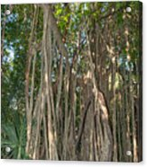 Trees With Aerial Roots At The Coba Ruins  Acrylic Print