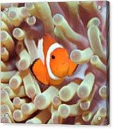 Tropical Fish Clownfish Acrylic Print by MotHaiBaPhoto Prints