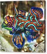 Tropical Fish Mandarinfish Acrylic Print