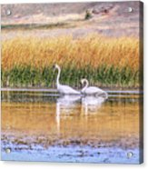 Tranquil Trumpeter Swans Acrylic Print