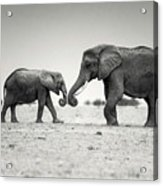 Trunk Pumping Elephants Acrylic Print