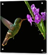 Tufted Coquette Acrylic Print