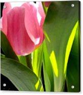 Tulip 2 Acrylic Print