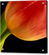 Tulip Close-up Acrylic Print