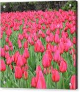 Tulip Field Acrylic Print by Richard Mitchell