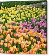 Tulips Galore  Acrylic Print
