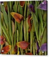 Tulips Wilting Acrylic Print