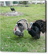 Turkeys In The Yard At Laguna Guerrero Acrylic Print