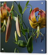 Turk's Cap Lily Acrylic Print