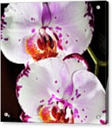 Twin Orchids Acrylic Print