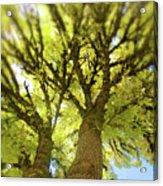 Twin Trees Acrylic Print