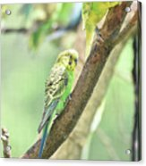 Two Adorable Budgie Parakeets Living In Nature Acrylic Print