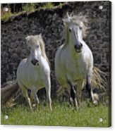 Two Highland Ponies. Acrylic Print