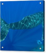 Two Humpback Whales Acrylic Print