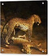 Two Leopards Lying In The Exeter Acrylic Print