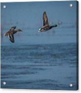 Two Mallard Ducks In Flight Acrylic Print