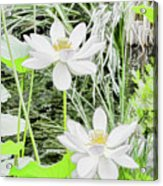 Two Water-lilies Acrylic Print
