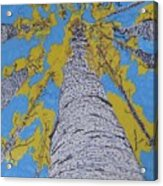 Up At Birch Acrylic Print