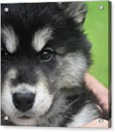 Up Close Look At The Face Of An Alusky Puppy Dog Acrylic Print