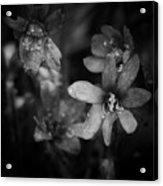 Vanishing Beayty Of Hepatica Acrylic Print