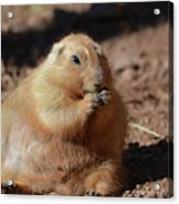 Very Large Overweight Prairie Dog Sitting In Dirt Acrylic Print