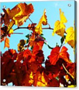 Vineyard 12 Acrylic Print