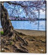 Washington Monument Cherry Blossoms Acrylic Print