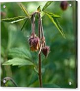 Water Avens Acrylic Print