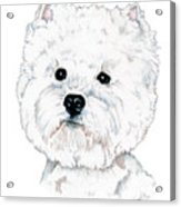 West Highland White Terrier, Westie Acrylic Print