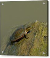 Western Painted Turtle Acrylic Print