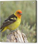 Western Tanager Acrylic Print