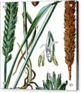 Wheat, Triticum Vulgare Acrylic Print
