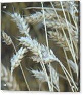 Wheats  Acrylic Print