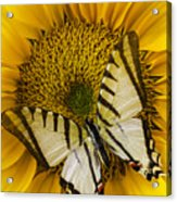 White Butterfly On Sunflower Acrylic Print