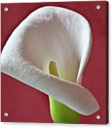 White Calla Acrylic Print by Heiko Koehrer-Wagner