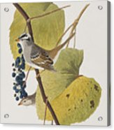 White-crowned Sparrow Acrylic Print