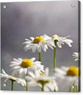 White Daisies Acrylic Print