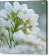 White Flower Close-up Acrylic Print