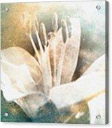 White Lily Acrylic Print